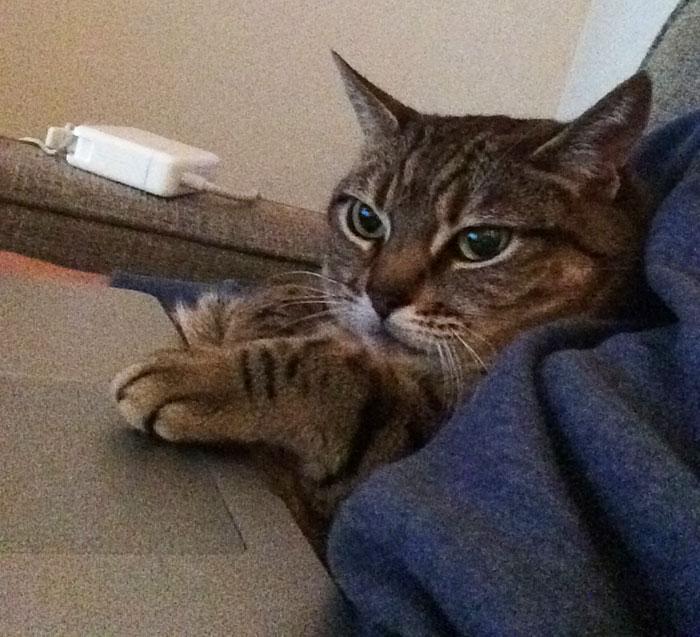 a cat using a laptop